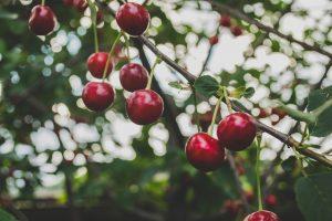 Cherries on the Dirty Dozen List