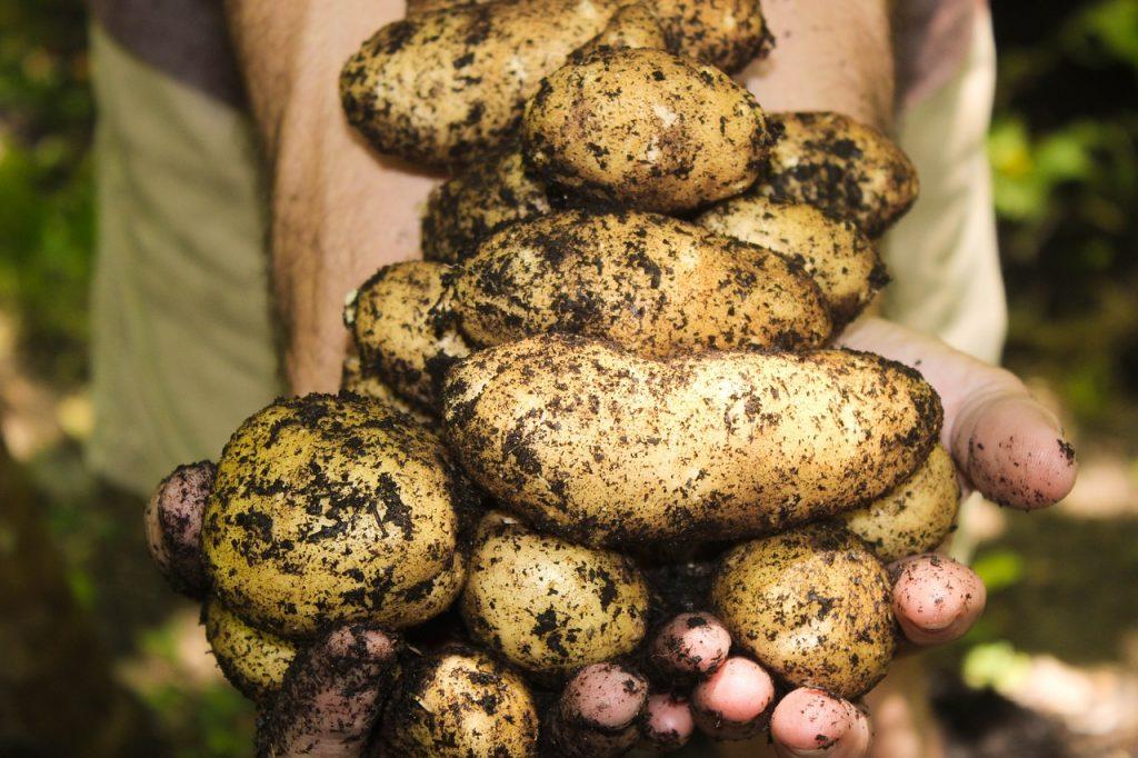 potatoes on the Dirty Dozen List