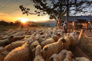 organic and humanely raised sheep on farm